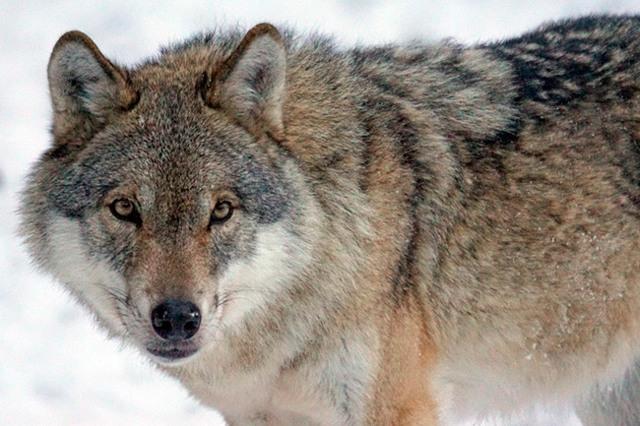 Беседа про волка. Старшая - подготовительная группа