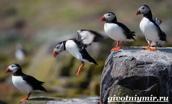 Сообщение про птицу тупик, 4 класс