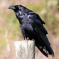 Блок «Ворона» стихотворение текст