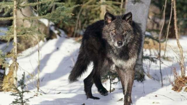 Рассказ про волка, 1-3 класс. Окружающий мир