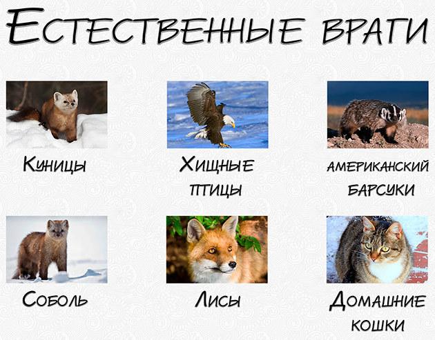 Рассказ о горностае, 3-4 класс. Окружающий мир