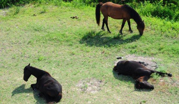 Эдуард Шим «Как спят лошади»
