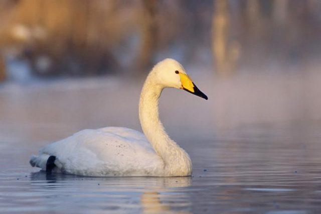 Рассказ про лебедя, 4 класс