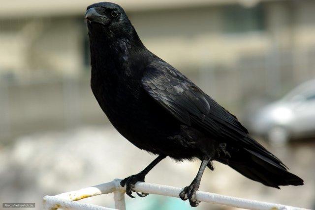 Блок «Ворона» читать