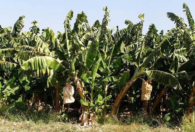 Рассказ про банан для детей 1 класса