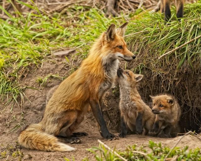 Что можно рассказать детям про лису