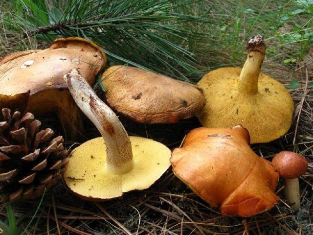 Рассказ про гриб Маслёнок для детей