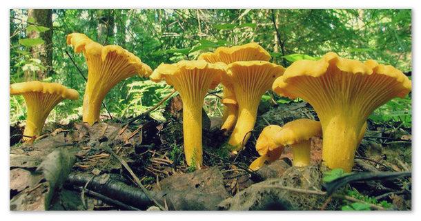 Рассказ про гриб Лисичка для 2 класса