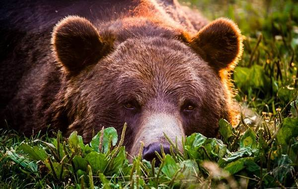 Рассказ про бурого медведя, 2 класс. Окружающий мир